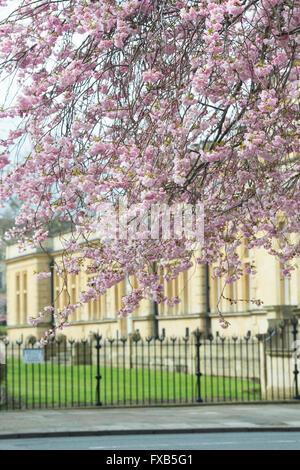 Prunus. Cherry tree in blossom infront of Cheltenham town hall. Cheltenham, Gloucestershire, England - Stock Photo