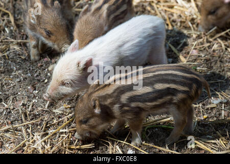 Ortenburg, Germany. 13th Apr, 2016. The white boar 'Bruno' stands between his siblings in an enclosure in the Wildpark - Stock Photo
