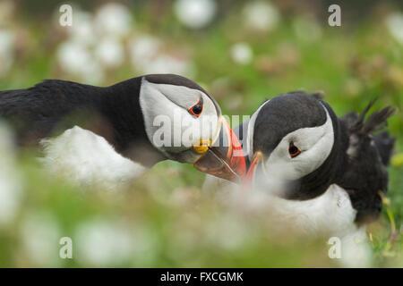 Atlantic puffin Fratercula arctica, adults, billing, The Wick, Skomer, Wales, UK in June. - Stock Photo