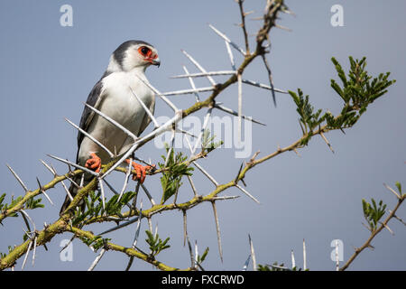 Male pygmy falcon perched on bush among large thorns - Stock Photo