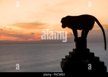 Monkey at sunset in Uluwatu temple - Bali, Indonesia - Stock Photo