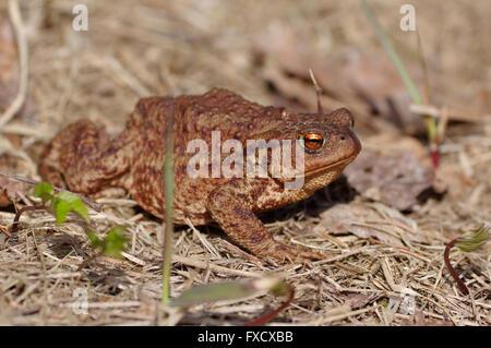 Common toad, European toad, Bufo bufo - Stock Photo