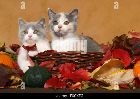 2 British Shorthair Kitten - Stock Photo