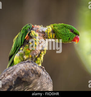 Portrait of  scaly-breasted lorikeet (Trichoglossus chlorolepidotus). Other names include the Gold and Green Lorikeet, - Stock Photo