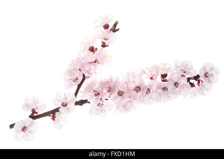apricot branch with flowers isolated on white - Stock Photo
