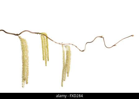 Hazel branch with catkins isolated on white (Corylus avellana) - Stock Photo
