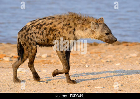 Spotted hyena (Crocuta crocuta) at Klein Namutoni Waterhole in Etosha National Park, Namibia - Stock Photo