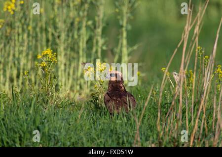 Western marsh harrier / Eurasian marsh harrier (Circus aeruginosus), female in grassland - Stock Photo