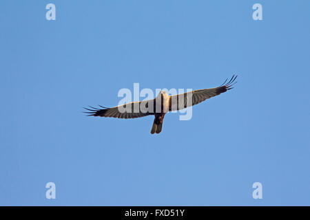 Western marsh harrier / Eurasian marsh harrier (Circus aeruginosus), male in flight - Stock Photo