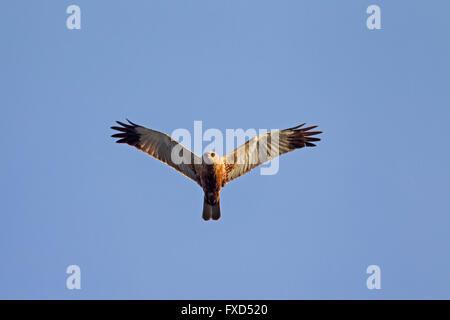 Western marsh harrier / Eurasian marsh harrier (Circus aeruginosus), male in flight - Stock Photo