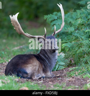 Melanistic black fallow deer buck seated,relaxing in the fern and bracken at the edge of the wood - Stock Photo