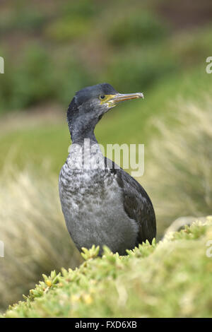 Pitt Island Shag - Stictocarbo featherstoni - Stock Photo