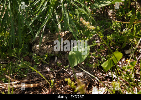 A Leopard Frog hides beneath a clump of grass in the Resaca de La Palma State Park near Brownsville, Texas. - Stock Photo