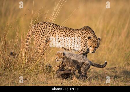 Cheetah mother and cubs (Acinonyx jubatus) walking in a grassland in Masai Mara, Kenya - Stock Photo