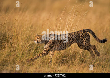 Cheetah  (Acinonyx jubatus) running in a grassland in Masai Mara, Kenya - Stock Photo