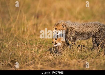 Cheetah cubs (Acinonyx jubatus) running and playing in a grassland in Masai Mara, Kenya - Stock Photo