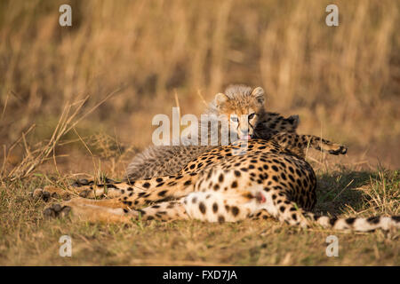 Cheetah mother and cubs (Acinonyx jubatus) resting in a grassland in Masai Mara, Kenya - Stock Photo