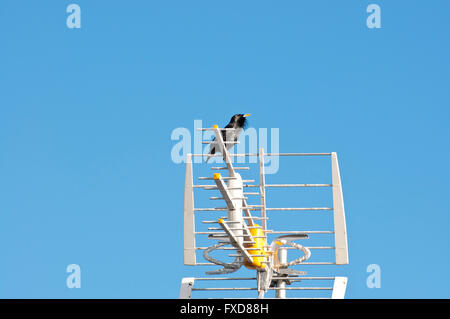 Male of Spotless Starling, Sturnus unicolor, perched on a TV antenna - Stock Photo