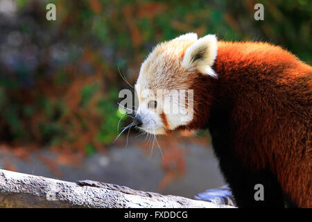 The red panda (Ailurus fulgens), also called lesser panda, red bear-cat, and red cat-bear - Stock Photo