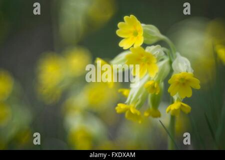 Cowslip (Primula veris), Flower of 2016, Baden-Württemberg, Germany - Stock Photo