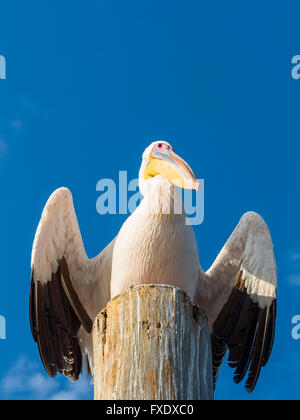 Great white pelican (Pelecanus onocrotalus) sitting on a wooden post, Sandwich Harbour, Walvis Bay, Erongo Region, - Stock Photo