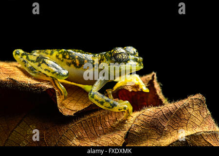 White-spotted Cochran Frog (Sachatamia albamoculata) sitting on leaf, Choco rainforest, Canande River Nature Reserve, - Stock Photo