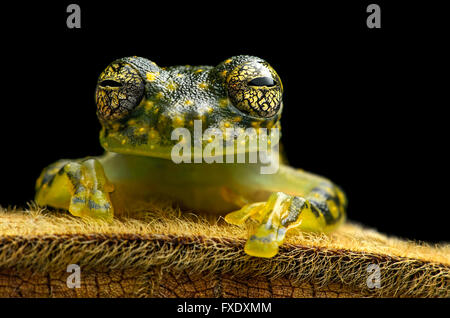 White-spotted Cochran Frog (Sachatamia albamoculata) sitting on hairy leaf, Choco rainforest, Canande River Nature - Stock Photo