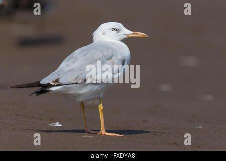 Slender-billed Gull (Chroicocephalus genei), standing on sand, Qurayyat, Muscat Governorate, Oman - Stock Photo