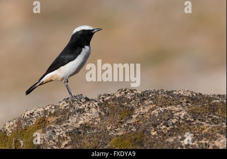 Arabian Wheatear (Oenanthe lugentoides), adult male perched on a rock, Wadi Darbat, Dhofar, Oman - Stock Photo