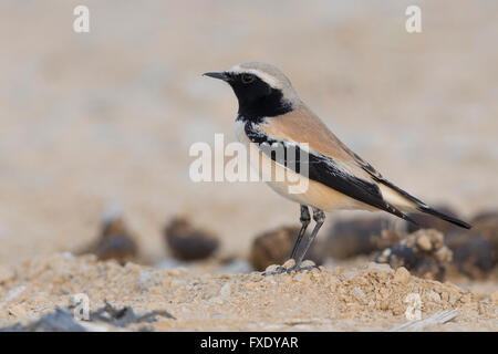 Desert Wheatear (Oenanthe deserti), standing on the ground, Qurayyat, Muscat Governorate, Oman - Stock Photo