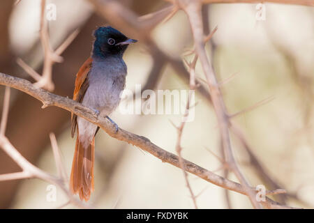 African Paradise Flycatcher (Terpsiphone viridis ssp harteti), adult perched on a branch, Ayn Hamran, Dhofar, Oman - Stock Photo