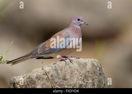 Laughing Dove (Streptopelia senegalensis), adult perched on a rock, Wadi Darbat, Dhofar, Oman - Stock Photo