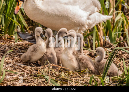 A family of cygnets. - Stock Photo