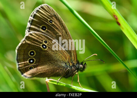 Ringlet butterfly (Aphantopus hyperantus). Butterfly in the family Nymphalidae at rest on a blade of grass, showing - Stock Photo