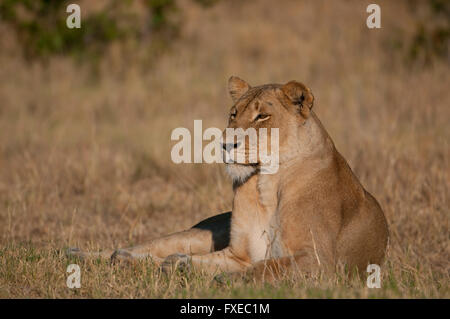female African Lion (Panthera leo) resting in Kruger National Park, South Africa - Stock Photo