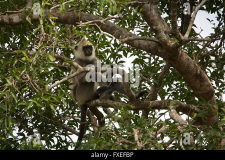 Sri Lanka, wildlife, Yala National Park, Tufted gray langur Semnopithecus priam in tree - Stock Photo