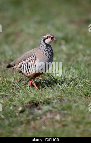 Red-legged partridge, Alectoris rufa, single bird on grass, Warwickshire, April 2016 - Stock Photo