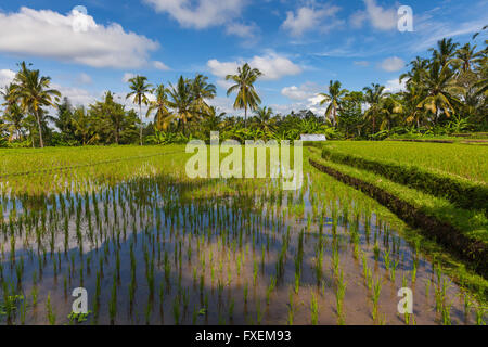 Daytime scenery of the rice fields in Ubud, Bali, Indonesia. - Stock Photo