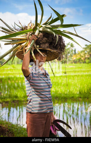 Ubud, Indonesia - February 28, 2016: Woman farmer carrying crops on her head on the rice filends in Ubud, Bali, - Stock Photo