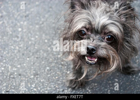 Cute and friendly little shaggy dog with mouth open and tongue and teeth showing - Stock Photo