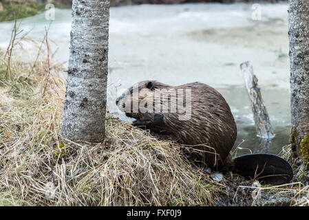 a beaver on the grassy edge of pond - Stock Photo