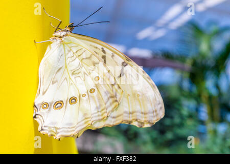 White Morpho butterfly on a yellow wall (Morpho polyphemus) - Stock Photo