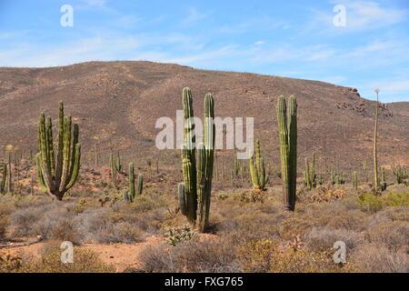Giant Cardon cacti in Mexico, the hills of Baja California. - Stock Photo