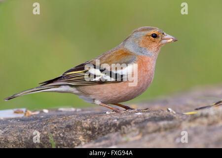 Chaffinch (Fringilla coelebs), adult male feeding on seeds, Campania, Italy - Stock Photo