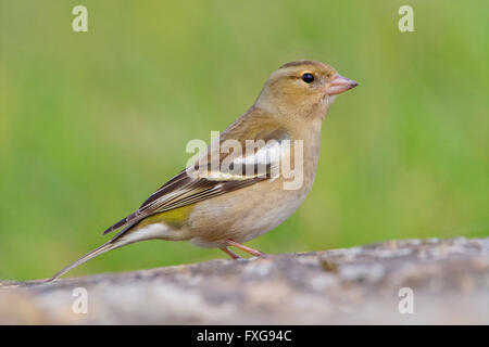 Chaffinch (Fringilla coelebs), adult female on the ground, Campania, Italy - Stock Photo