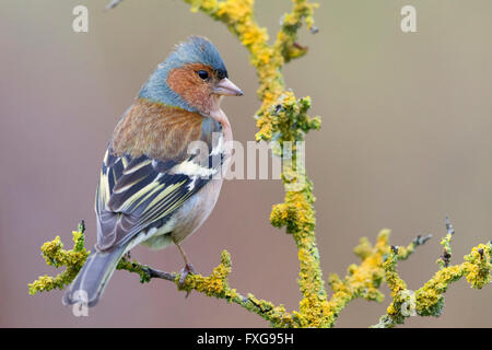 Chaffinch (Fringilla coelebs), adult male perched on a branch, Campania, Italy - Stock Photo