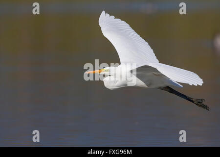 Great Egret (Ardea alba), flying over the water, Tuscany, Italy - Stock Photo