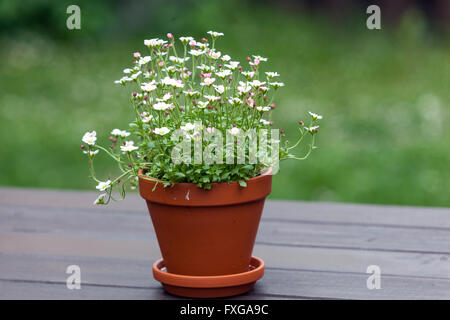 Flowering saxifrage flowers in pot on wooden table - Stock Photo