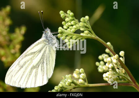 Green-veined white butterfly (Pieris napi) at rest on flower. Insect in the family Pieridae (the whites) at rest - Stock Photo