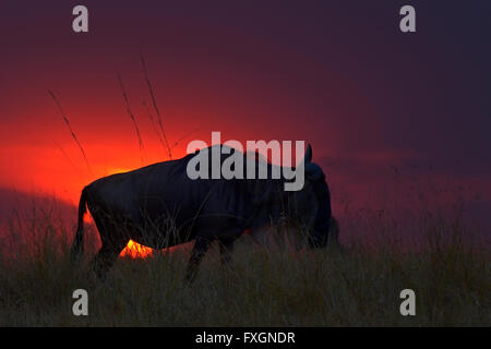 Backlit Blue Wildebeest herds at sunset in Masai Mara during the great annual migration in the grasslands of Masai - Stock Photo